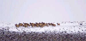 Wolf chasing Wapiti herd, Yellowstone National Park, Wyoming, USA.  Peter Dettling, Switzerland.  Runner-up, Wild Portfolio Category Travel Photographer of the Year 2006