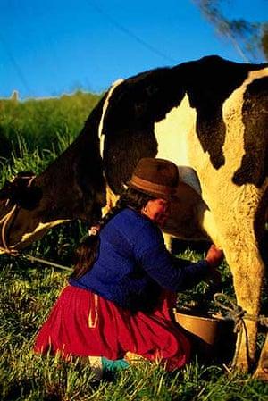 Woman milking a cow on a farm in Ecuador