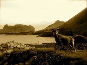 Sheep, St Kilda archipelago