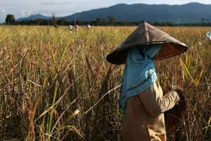 Thai Muslim workers harvest rice in a field