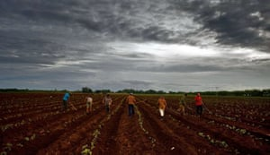 Batabano, Cuba: Peasants work under a thick mantle of stormy clouds