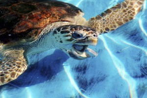 Linosa, Italy: A sea turtle is fed at the Marine Turtle Rescue Centre