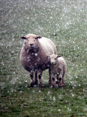 Sheep and early lambs in the snow
