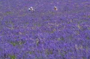 lavender in the UK
