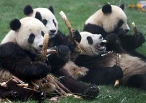 Earthquake shocked pandas