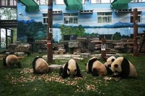 Chinese earthquake: shocked panda