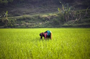A Nepalese laborer works on a rice field