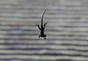 Encinitas, US: A lizard climbs down a window screen