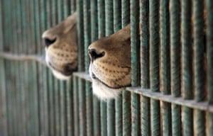 Amman, Jordan: Lions in a zoo