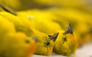 Sao Paulo, Brazil: Dead canaries at the International airport.