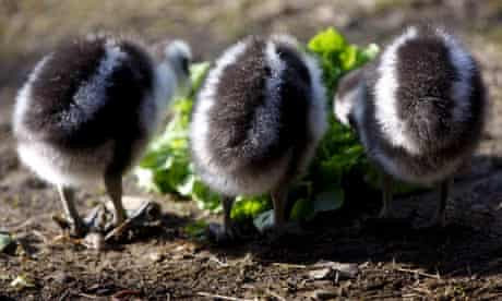 baby geese eating lettuce