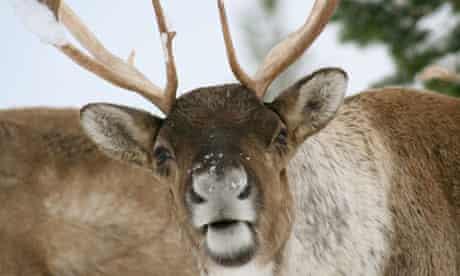 The Cairngorm Reindeer Herd, Aviemore, Scottish Highlands.