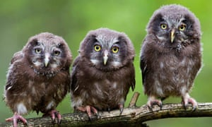Boreal owl chicks sit on a tree branch, Minsk