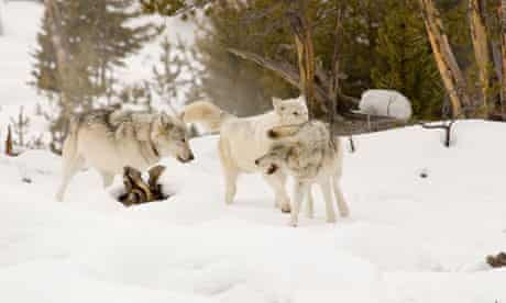 Grey wolves. Family playing in Yellowstone National Park.