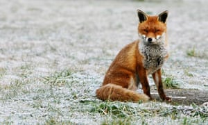 A fox sits on snow