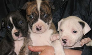 Abandoned dogs – Staffordshire bull terriers