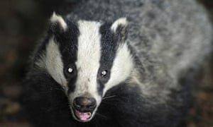 Badger cull challenge rejected