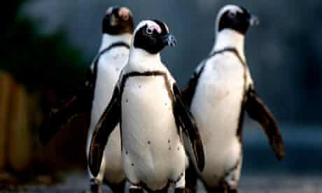 South Africa - African Penguins
