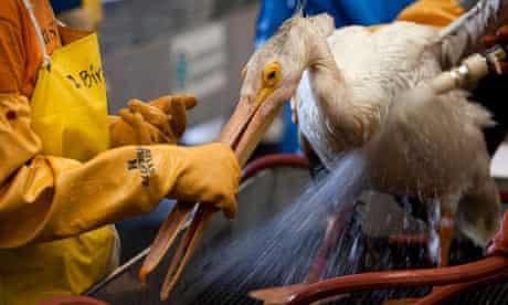 An adult American white pelican is rinsed by volunteers
