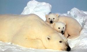notes and queries polar bears