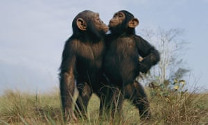 Two male chimpanzees