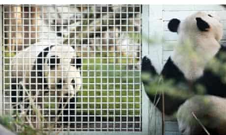 Pandas in Edinburgh Zoo