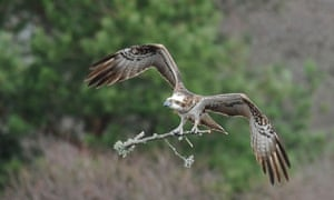Lady female osprey flying and carrying a branch
