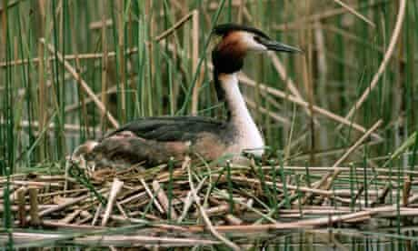 Great-Crested Grebe Upon Nest