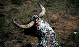 A bull is covered with foam