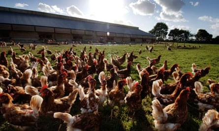 chickens favourite snacks notes and queries