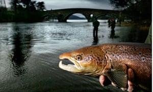 Wild Atlantic salmon 'under threat' from escaped farmed ... Atlantic Salmon Parasite