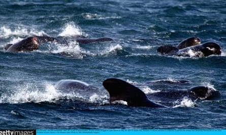 Concern Grows Over A Possible Mass Stranding Of Up To A Hundrew Pilot Whales On A Scottish Beach