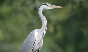 Grey Heron - Ardea cinerea. Image shot 2007. Exact date unknown.