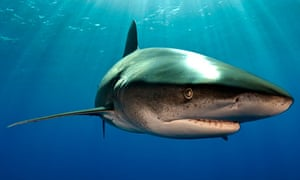 oceanic whitetip shark swimming in the waters off the Bahamas