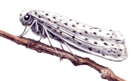 bird-cherry ermine moth