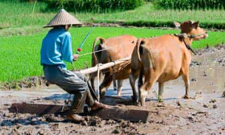 An Indonesian rice farmer uses oxen and a wooden plough to work the land.