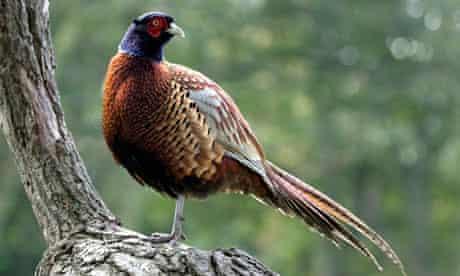 pheasant in wood