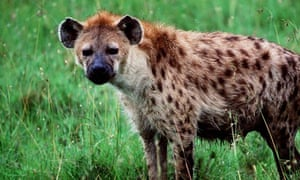 How do spotted hyenas protect themselves — photo 1