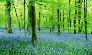 A forest of bluebells in Gloucestershire.
