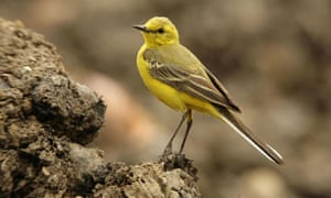 The yellow wagtail, on the endangered list