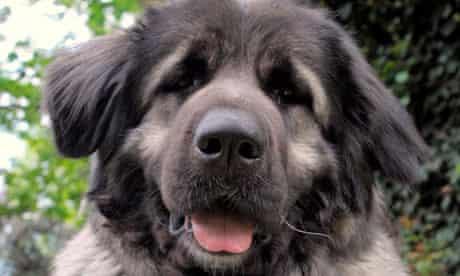 A caucasian shepherd dog