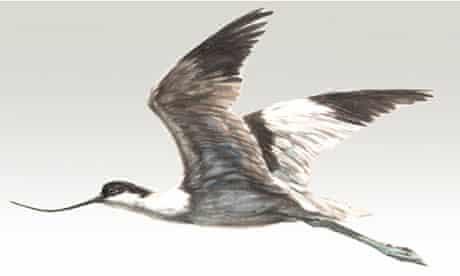 Avocet for February Birdwatch