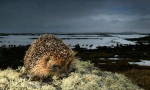 hibernating hedgehogs