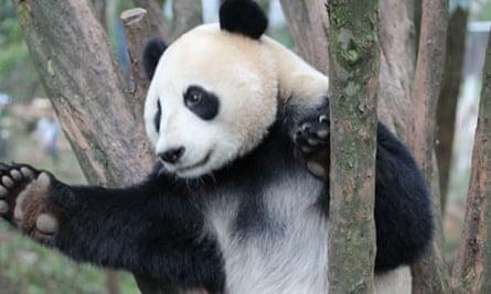 panda - Wild About Pandas watch this
