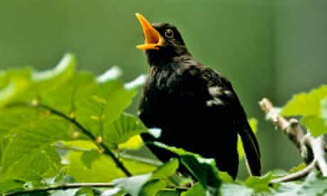 blackbird where do garden birds go in summer