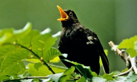 blackbird where do garden birds go in summer