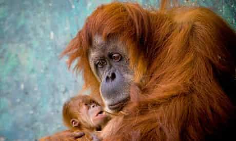 A Sumatran orangutan mother with her baby