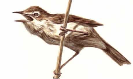 Paddyfield Warbler for birdwatch
