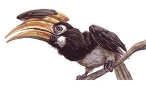 Pied Hornbill for September birdwatch