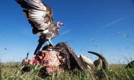 Vultures feeding on the carcass of a buffalo